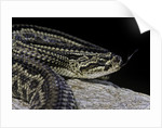Crotalus durissus terrificus (cascabel or South american rattlesnake) by Corbis