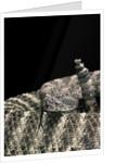 Crotalus tigris (tiger rattlesnake) by Corbis