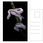 Elaphe obsoleta lindheimeri f. leucistic (Texas rat snake) by Corbis