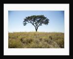 Acacia Tree, Makgadikgadi Pan, Botswana by Corbis