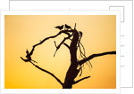 Birds on Tree at Dawn, Moremi Game Reserve, Botswana by Corbis