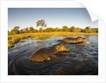 Aerial View of Hippopotamus at Sunset, Moremi Game Reserve, Botswana by Corbis
