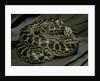 Eunectes notaeus (yellow anaconda) by Corbis