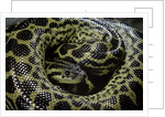 Eunectes notaeus (yellow anaconda) by Corbis