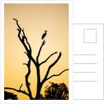 Egret, Savuti Marsh, Chobe National Park, Botswana by Corbis
