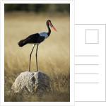 Saddle-Billed Stork , Moremi Game Reserve, Botswana by Corbis