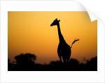 Giraffe, Nxai Pan National Park, Botswana by Corbis