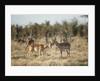 Male and Female Impala, Chobe National Park,Botswana by Corbis