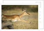 Leaping Impala, Chobe National Park, Botswana by Corbis