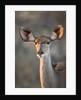 Female Greater Kudu, Chobe National Park, Botswana by Corbis