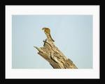 Squirrel, Botswana by Corbis