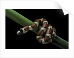 Lampropeltis mexicana (mexican kingsnake) by Corbis