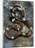 Lampropeltis triangulum sinaloae (Sinaloan milksnake) by Corbis