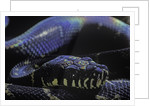 Morelia boeleni (black python) by Corbis