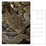 Python reticulatus (reticulated python) by Corbis