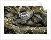 Python reticulatus f. calico (reticulated python) by Corbis