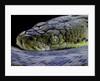 Malayopython timoriensis (Timor python) by Corbis