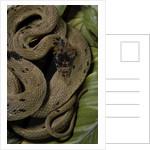 Spalerophis diadema attriceps (diadem snake) by Corbis