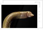 Amphisbaenidae. by Corbis