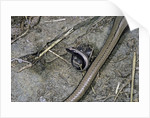 Anguis fragilis (Slow Worm) - farrowing by Corbis