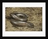 Anguis fragilis (Slow Worm) by Corbis