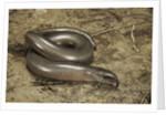 Anguis fragilis (Slow Worm) by Corbis