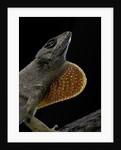 Anolis sagrei (Cuban brown anole) by Corbis