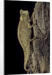 Brookesia superciliaris (brown leaf chameleon) by Corbis