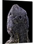 "Chalarodon madagascariensis (Madagascar iguana) - with his ""third eye"" by Corbis"