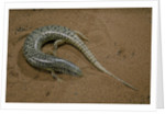 Chalcides ocellatus (ocellated barrel skink) by Corbis