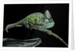 Chamaeleo calyptratus (veiled chameleon) by Corbis