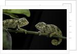 Chamaeleo johnstoni (Johnston's chameleon) - young by Corbis
