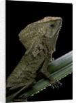 Corytophanes cristatus (helmeted iguana) by Corbis