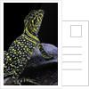 Crotaphytus collaris (collared lizard) by Corbis