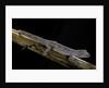 Diplodactylus ciliaris (Western spinytail gecko) by Corbis