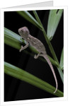Furcifer oustaleti (Malagasy giant chameleon) - young by Corbis