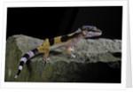 Eublepharis macularius f.golden (leopard gecko) by Corbis