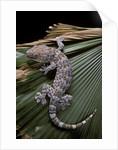 Gekko gecko (tokay gecko) by Corbis