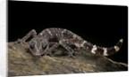 Paroedura masobe by Corbis