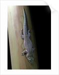 Phelsuma standingi (standing's day gecko) by Corbis