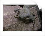 Phrynosoma modestum (roundtailed horned lizard) by Corbis