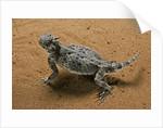 Phrynosoma platyrhinos (desert horned lizard) by Corbis