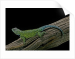 Sceloporus malachiticus (green spiny lizard) by Corbis