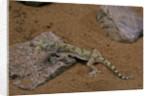 Stenodactylus sthenodactylus (elegant gecko, Lichtenstein's short-fingered gecko) by Corbis