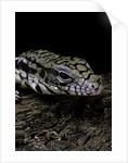 Salvator merianae (black-and-white tegu) by Corbis