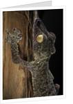 Uroplatus fimbriatus (giant leaf-tailed gecko) by Corbis