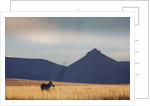 Mountain Zebra in field by Corbis