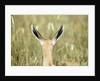 Springbok calf ears by Corbis