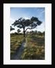 Acacia Tree by elephant path, Botswana by Corbis