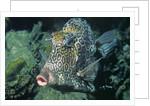 Honeycomb Cowfish by Corbis